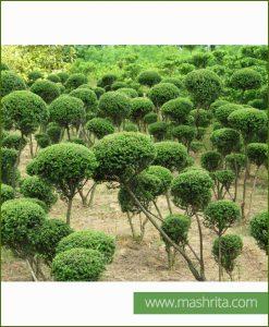 Ficus Panda Multi Head