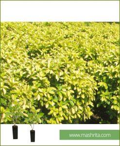 Ficus Panda Small (10 Plants)