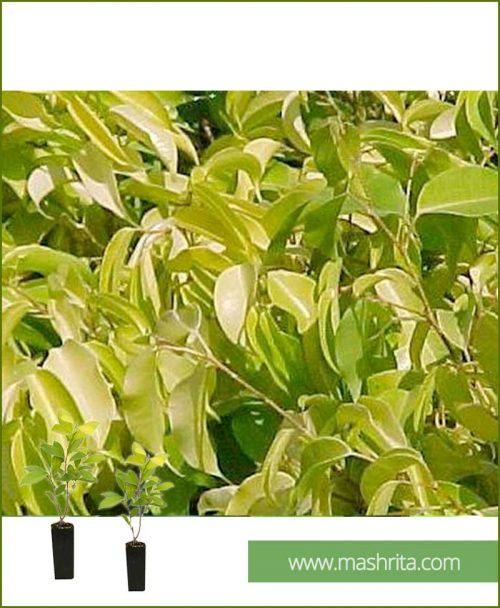 Ficus-Prestige-Small-(10-Plants)-Mashrita-Online-Nursery