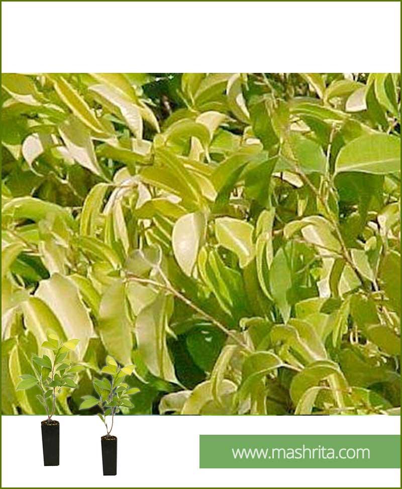 Ficus prestige small 10 plants - Sun garden prestige ...
