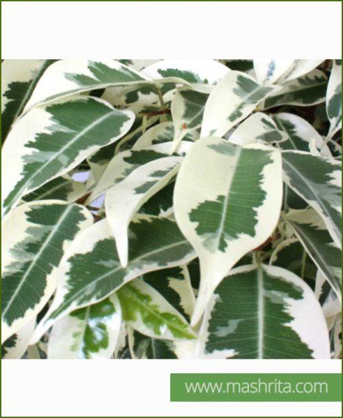 Ficus-Starlight_Mashrita_Online_Nursery