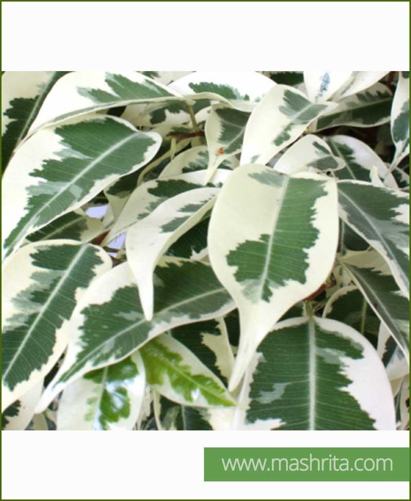 Ficus Kingbush