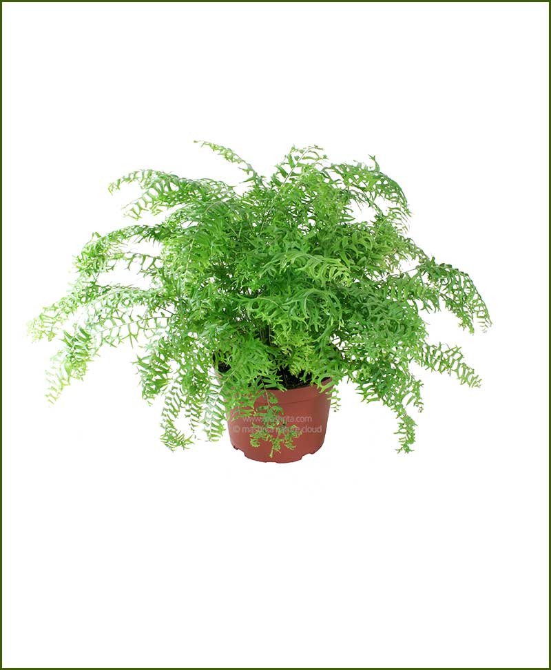 Fish Tail Fern (Nephrolepis Falcata Furcans)
