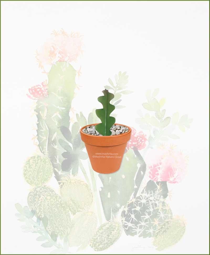 Fishbone-Cactus-Online-Plant-Nursery
