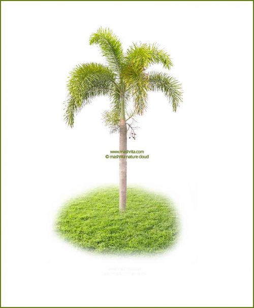 Fox Tail Palm Wodyetia Bifurcata 108 Inch