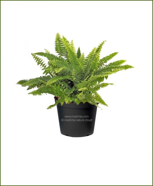 Golden Boston Fern (Nephrolepis Exaltata Aurea)