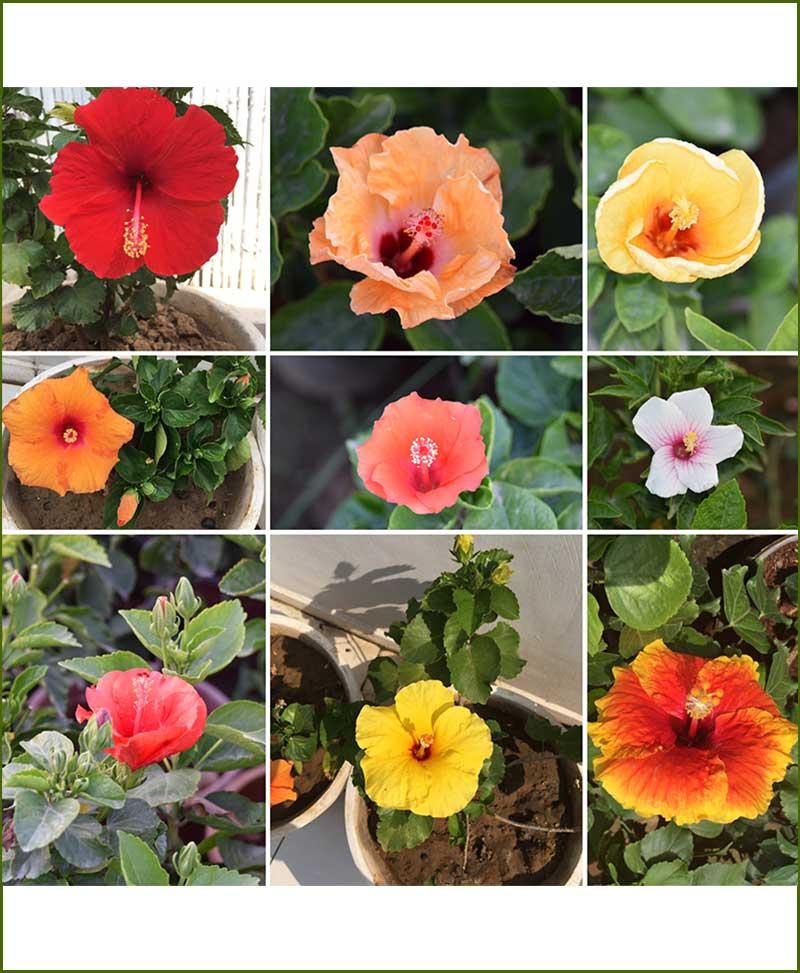 Hibiscus Mixed