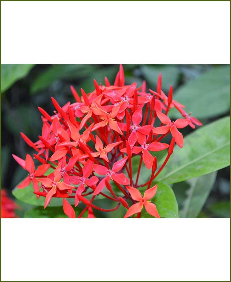 Ixora-Plant_Mashrita_Online-Nursery