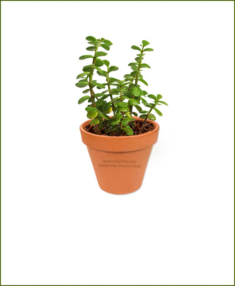 Jade Plant Elephant Bush Online Nursery
