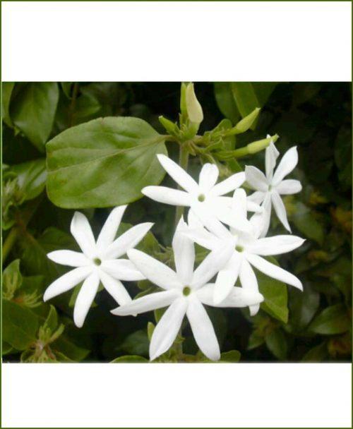 Jasminum Auriculatum (Juhi)-Double_Mashrita_Online-Nursery