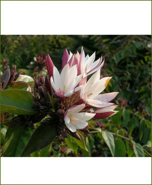 Kunda-Jasminum-Multiflorum_Mashrita_Online-Nursery