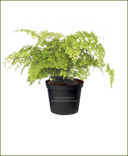 Maidenhair-Fern-(Adiantum-Raddianum)_Mashrita_Nature_Cloud