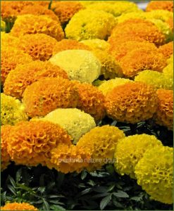 Marigold-Mixed-(Imported-Goldsmith)_Mashrita_Nature_Cloud