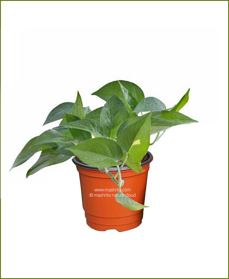 Money Plant Green
