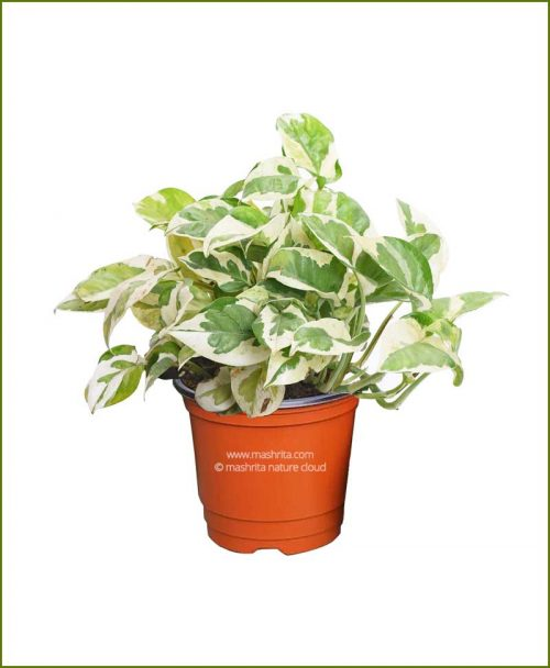 Money Plant Marble Prince Mashrita Nature Cloud