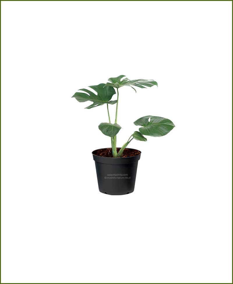 Philodendron Monstera Deliciosa