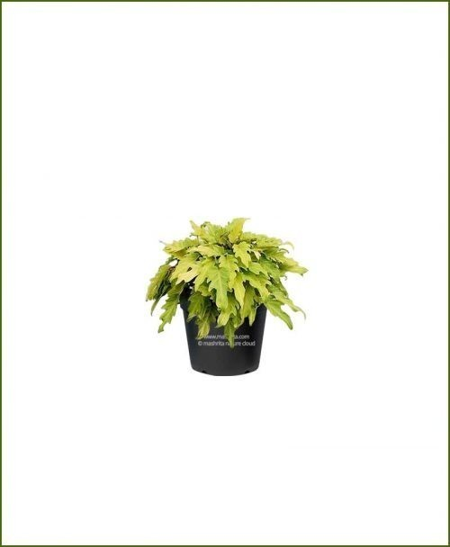 Philodendron Selloum Golden 10 Inch