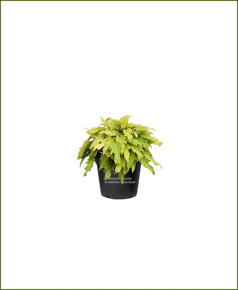 Philodendron Selloum Golden