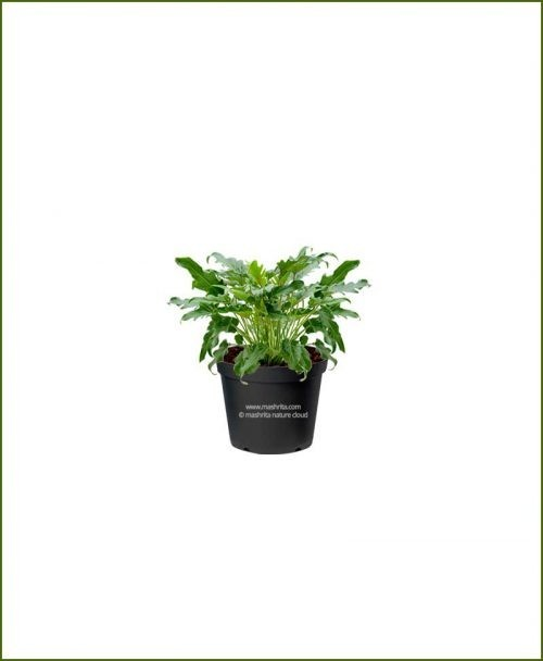 Philodendron Selloum Green