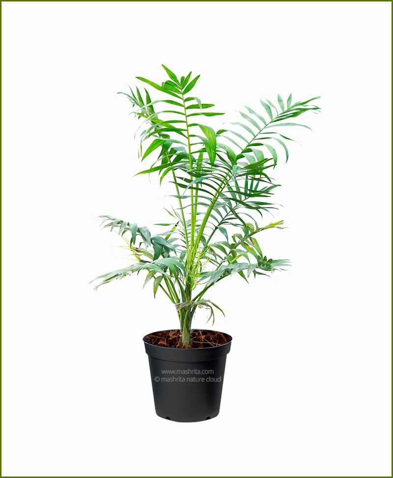 Parlor-Palm-Chamaedorea-Elegans-18-Inch
