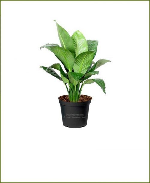Peace Lily Sensational (Spathiphyllum Sensational)
