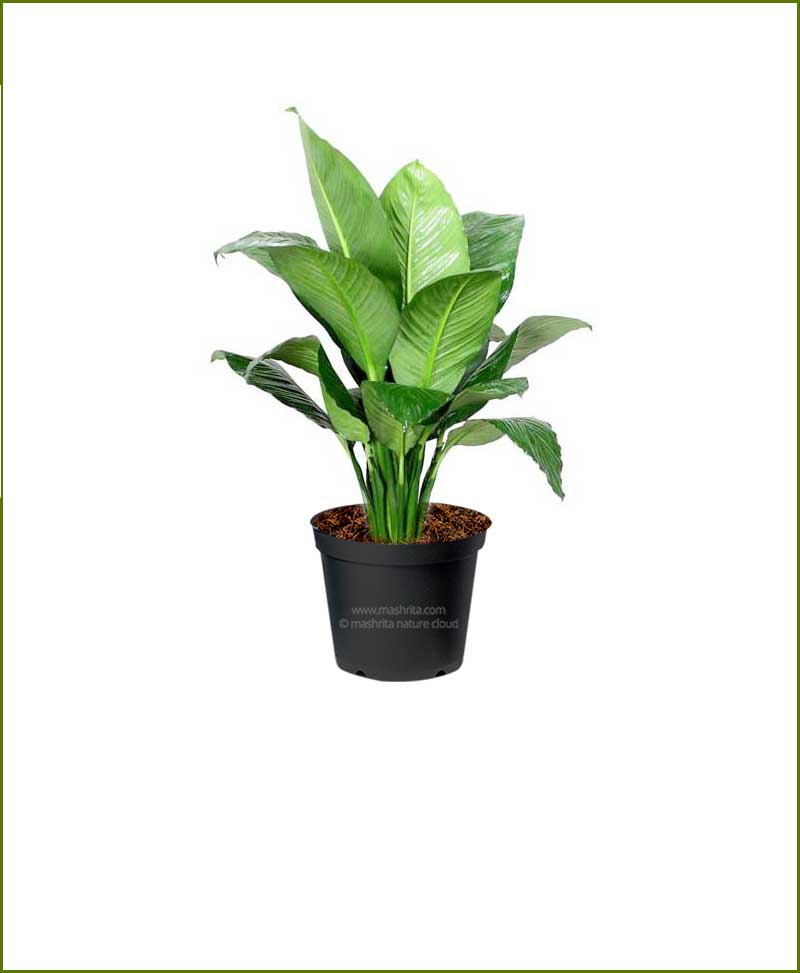 Peace Lily Sensational Spathiphyllum