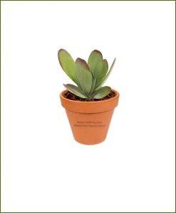 Peperomia-Flapjack-Popplet-Online-Plant-Nursery