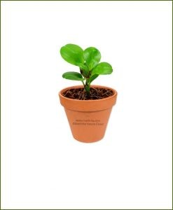 Peperomia-Obtusifolia-Online-Plant-Nursery