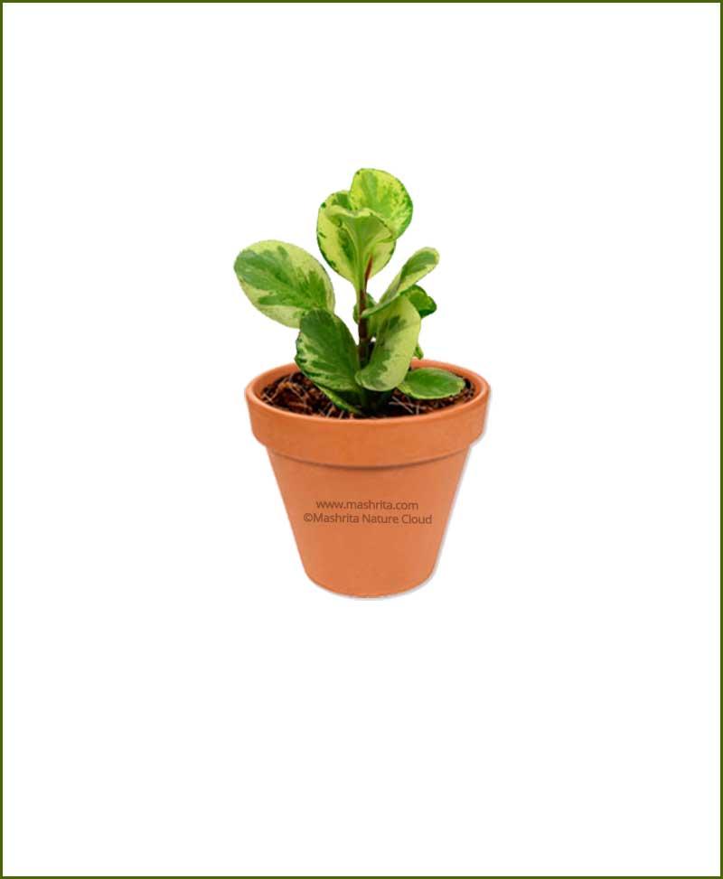 Peperomia-Obtusifolia-Variegated-Online-Plant-Nursery