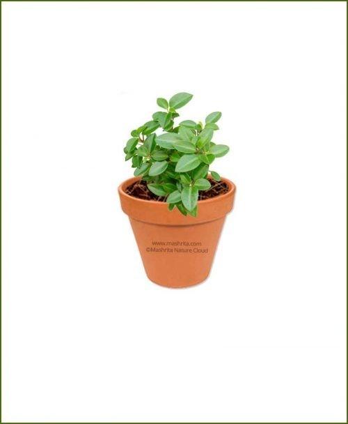 Peperomia-Orba-Online-Plant-Nursery