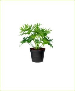 Philodendron Selloum Green 30 Inch