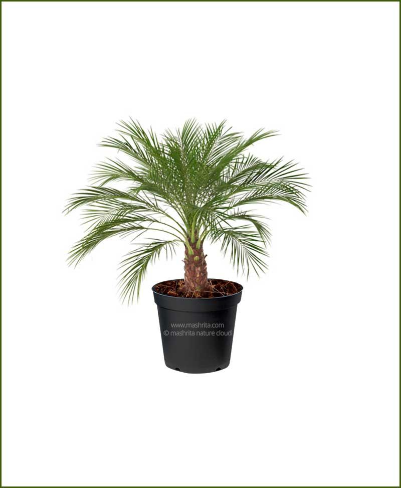 Pigmy Date Palm Phoenix Roebelenii (Dwarf Date Palm)