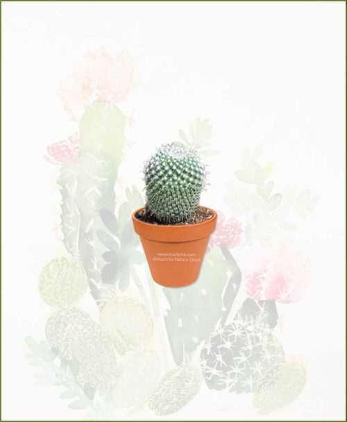 Pincushion-Cactus-Long-Online-Plant-Nursery