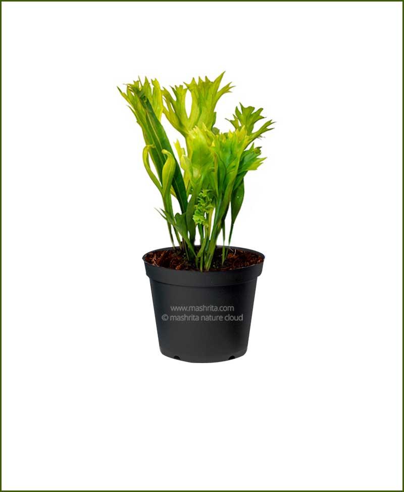 Polypodium Punctatum
