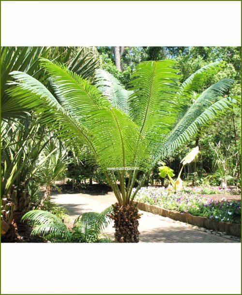 Queen Sago Palm Cycas Ciricinalis 24 Inch