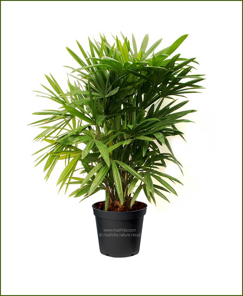 raphis palm rhapis excelsa 18 inch broadleaf lady palm. Black Bedroom Furniture Sets. Home Design Ideas