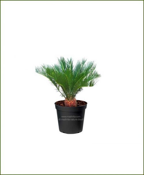 Sago-Palm-Cycas-Revoulta_Mashrita_Nature_Cloud