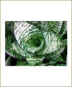 Sansevieria-Hahnii(Snake-Plant)_Mashrita_Nature_Cloud