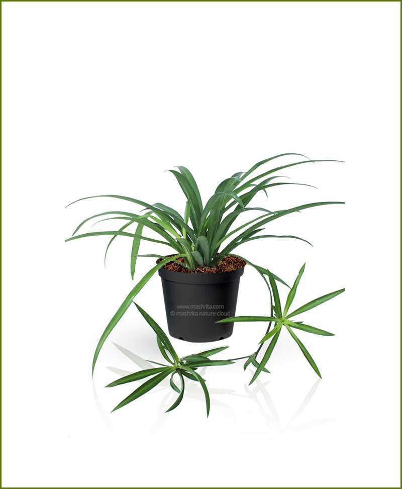 Spider Plant Chlorophytum Comosum Green