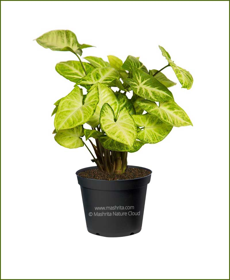 Syngonium Green Variegated
