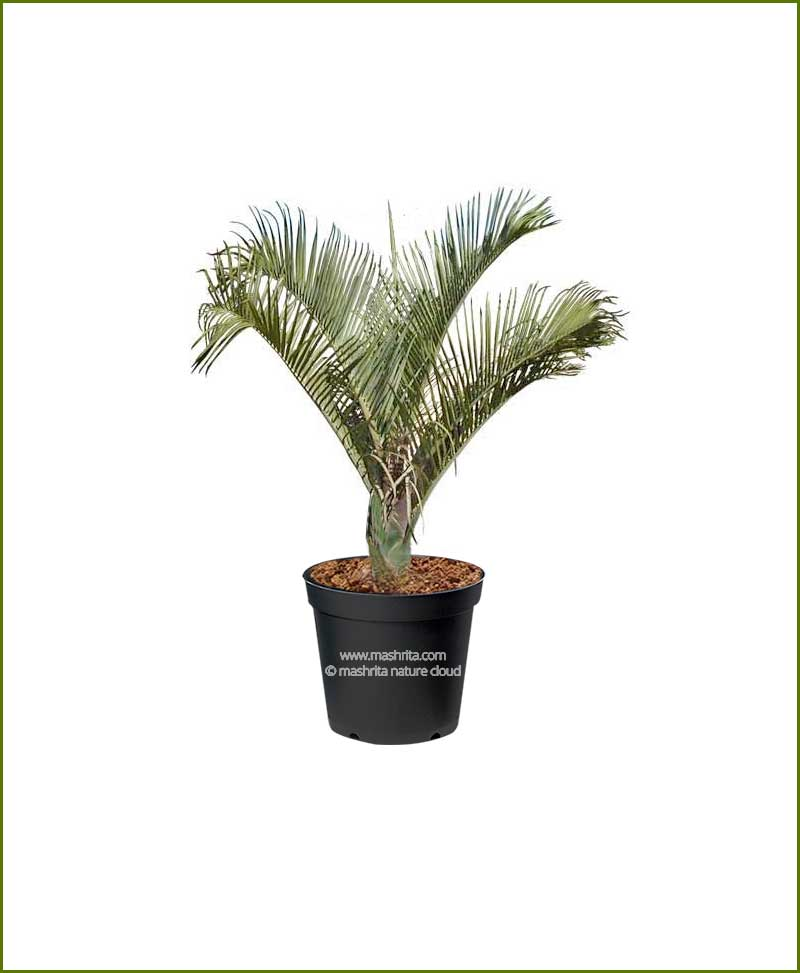Triangle Palm Triangular Palm Neodypsis Decaryi 36 Inch