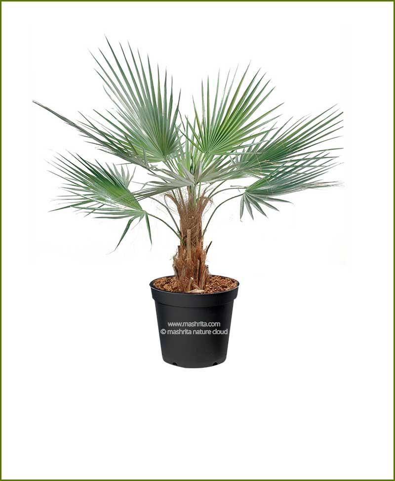 Washingtonian Palm Washingtonia Filifera