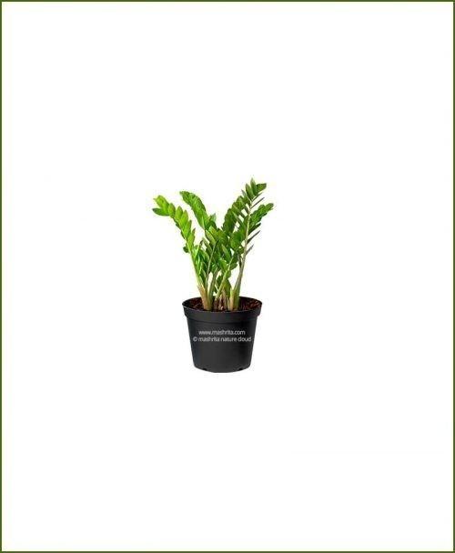 Zamioculcas-Zamiifolia-Small-(ZZ-Plant)_Mashrita_Nature_Cloud