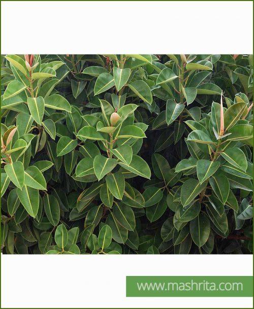 Ficus Elastica (Rubber Fig)