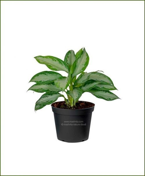 Aglaonema-Silver-Queen_Mashrita_Nature_Cloud