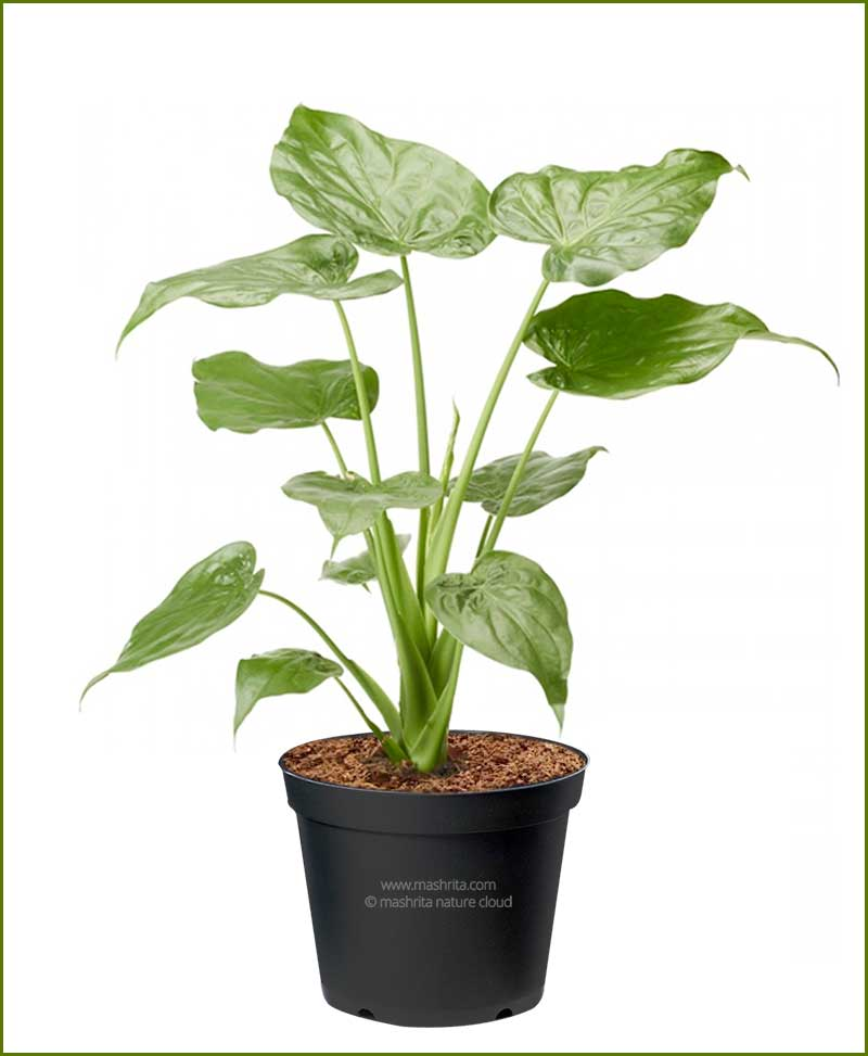 Alocasia-Cucullata _Mashrita_Nature_Cloud
