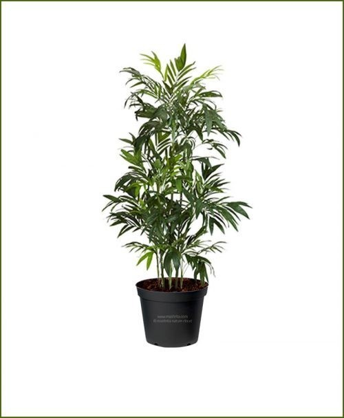 Mashrita Bamboo-Palm-Chamaedorea-Seifrizii-60-Inch