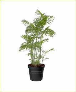 Bamboo-Palm-Chamaedorea-Seifrizii-60-Inch
