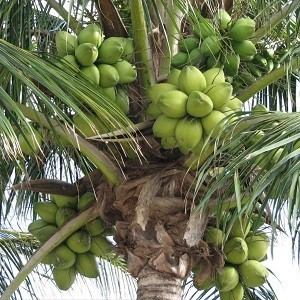 Cocos-Nucifera-Mashrita-Nature-Cloud