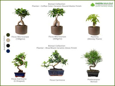 Corporate-Gift-Bonsai-Collections